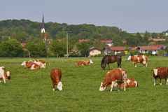 Farm animals, cows and horses in the middle of bavaria germany stock photography