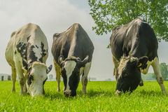 Farm Animals - Dairy Cattle Royalty Free Stock Photography