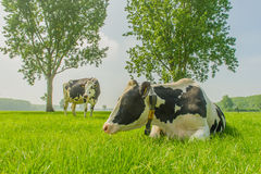 Farm Animals - Dairy Cattle Royalty Free Stock Image