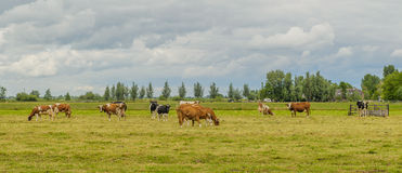 Farm Animals - Dairy Cattle. Dairy cattle grazing  in Dutch landscape with a cloudy blue sky Stock Photo