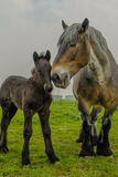 Farm Animals - Dutch Draft Horse. Female Dutch Draft Horse with foal standing in the pasture stock images