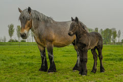 Farm Animals - Dutch Draft Horse. Female Dutch Draft Horse with foal standing in the pasture stock photography
