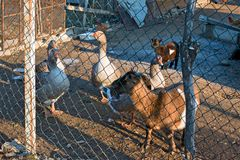 Farm animals enclosed. Within a fence Stock Image
