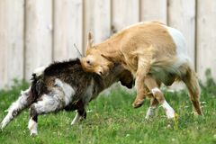 Farm animals fighting. Two farm animals ( young goats ) fighting in the farmyard Stock Images