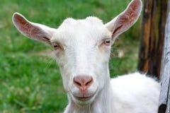 Farm animals. Goat peeks over the fence Stock Photos