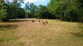 Farm animals grass field, goats running Royalty Free Stock Image