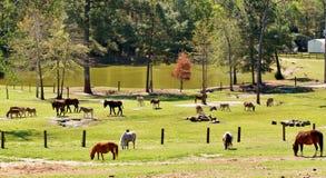 Farm animals grazing Royalty Free Stock Photography