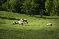 Farm animals. Grazing on the green meadow Stock Photography