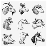 Farm Animals. Head Of A Domestic Horse Pig Goat Cow Alpaca Llama Rabbit Sheep. Logos Or Emblems For Signboard. Set Of Royalty Free Stock Photos