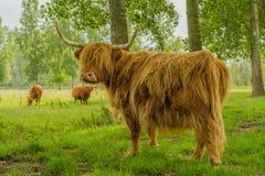 Farm Animals - Highland Cattle Stock Photos
