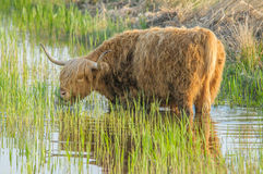 Farm Animals - Highland cattle Royalty Free Stock Photos