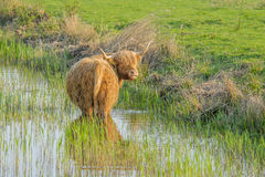 Farm Animals - Highland cattle Royalty Free Stock Images