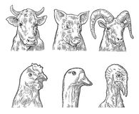 Farm animals icon set. Heads pig, cow, chicken, goose, turkey and goat  Royalty Free Stock Photo
