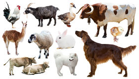 Farm animals. Isolated over white background. Set of bull, setter and other farm animals. Isolated over white background stock image