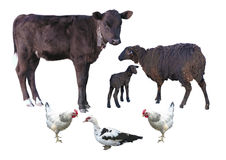 Farm animals isolated over white - calf, sheep, lamb, chicken, d Royalty Free Stock Photography