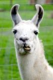 Farm Animals - Lama. Portrait of a white lama in lamas farm Royalty Free Stock Photo