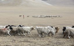 Farm animals in a landscape of Northern Mongolia. Goats running in a steppe of northern Mongolia royalty free stock photos