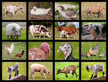 Farm animals mosaic. Sixteen mosaic photos of farm animals Stock Photography