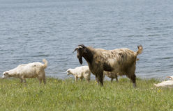 Farm animals near the water Stock Photo