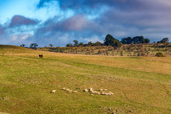 Farm animals on paddock. Agriculture outback landscape Stock Photo