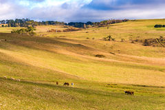 Farm animals on paddock. Agriculture outback landscape Stock Image