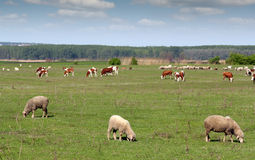 Farm animals in pasture. Spring landscape royalty free stock photos