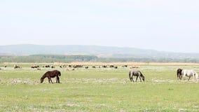 Farm animals on pasture stock video