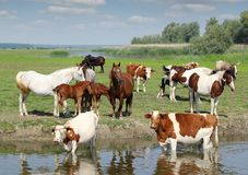 Farm animals on river. Cows and horses on river stock photo
