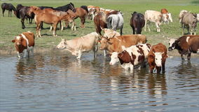 Farm animals on river Stock Images