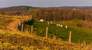 Farm animals on the rolling hills and fields of Southern York Co Stock Images