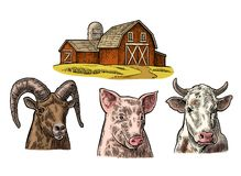 Farm animals set. Pig, cow and goat heads isolated on white background. Vector color vintage engraving illustration for menu, web and label. Hand drawn in a Royalty Free Stock Photo