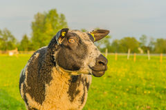 Farm Animals - Sheep Royalty Free Stock Images