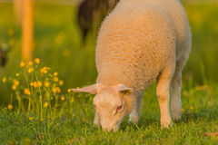 Farm Animals - Sheep Stock Photography