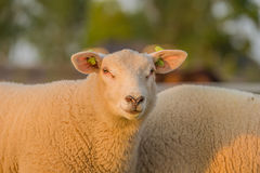 Farm Animals - Sheep Royalty Free Stock Image