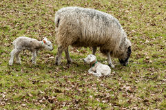 Farm animals sheep with lambs. Farm animals female sheep with twin new born lambs royalty free stock photo