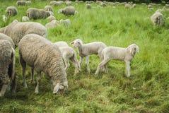 Farm Animals. Sheep farm - sheep and lambs Stock Photos