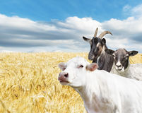 Farm animals Royalty Free Stock Image