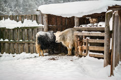 Farm animals in winter during snowfall. Russian cattle-breeding farm in winter during snowfall Stock Photo