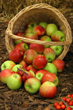 Farm apples Royalty Free Stock Photo