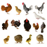 Farm birds Stock Image
