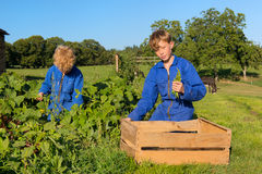 Farm Boys harvesting in vegetable garden. Farm boys picking the beans in vegetable garden stock image