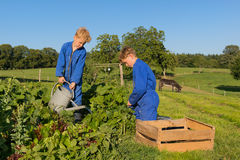 Farm Boys harvesting in vegetable garden. Farm boys picking the beans in vegetable garden stock photos