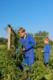 Farm Boys harvesting in vegetable garden. Farm boys picking the tomatoes in vegetable garden royalty free stock photo