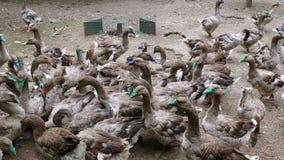 Farm for breeding geese stock footage