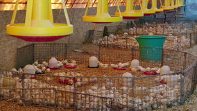 Farm for breeding poultry. Small chickens turkeys at a poultry farm stock footage