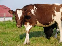 Farm: brown cow standing. Brown cow standing in field on farm Stock Images