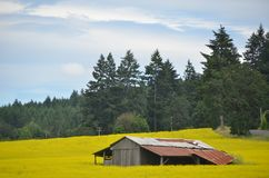 Farm Building in a yellow field, Oregon. This is a farm building in a yellow field surrounded by a forest in Oregon`s Willamette Valley west of Salem Stock Image