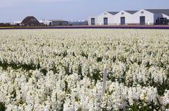 Farm buildings in Flowerfield. Modern farm buildings in a colorful flower field in Holland Stock Photography