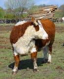 Farm bull Royalty Free Stock Photo
