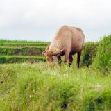 Farm Bull Feeding Grass, Bali Stock Image